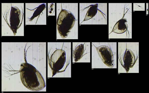 Zooplankton from Wisconsin Lake (2X)