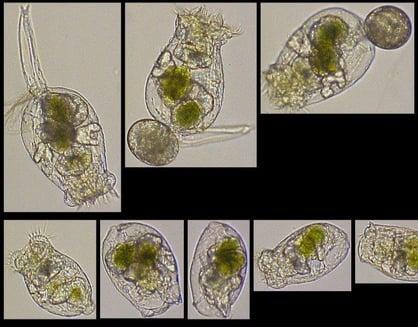 Microalgae cultivation - Rotifers Brachionus rubens imaged by FlowCam